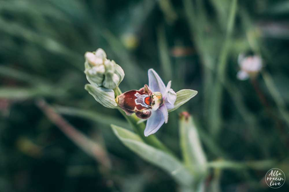Fotografía de Ophrys Apífera