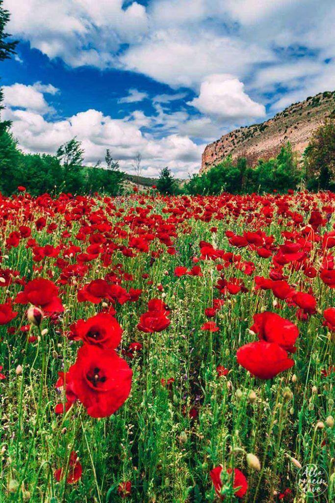 Fotografía de un campo de amapolas en la Sierra de Albarracín