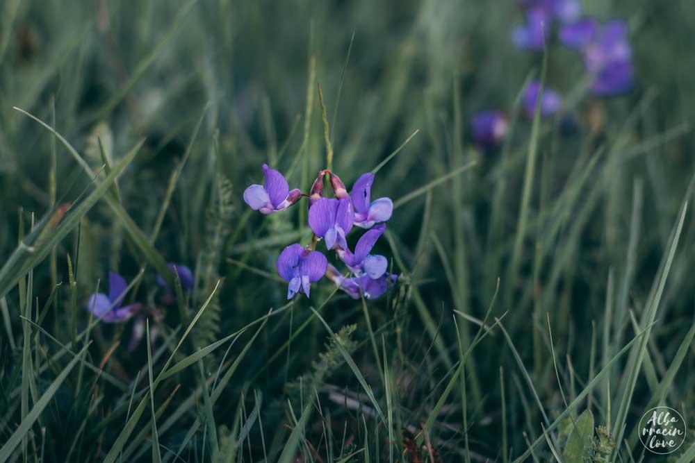 Fotografía de violetas silvestres